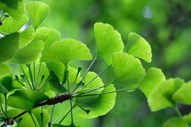 ginkgo for altitude sickness