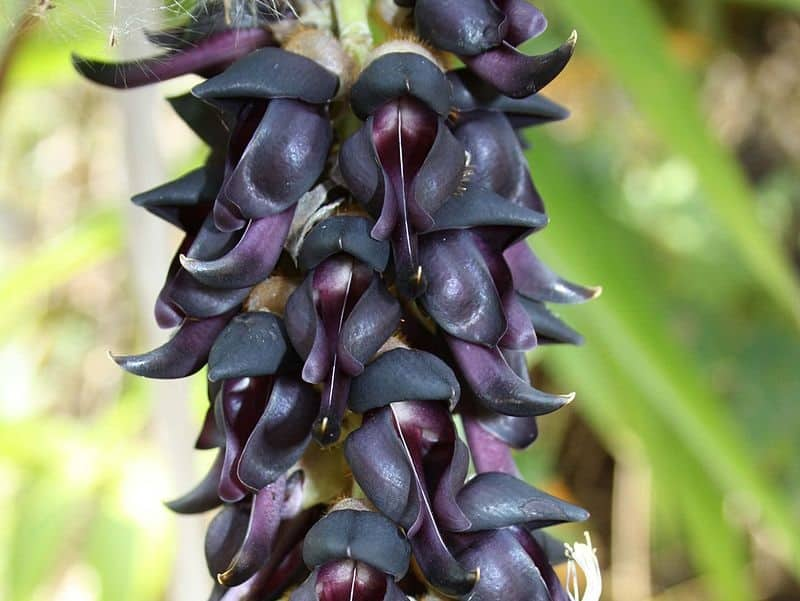 Mucuna Pruriens dose for Parkinson's (and long-term use effects)