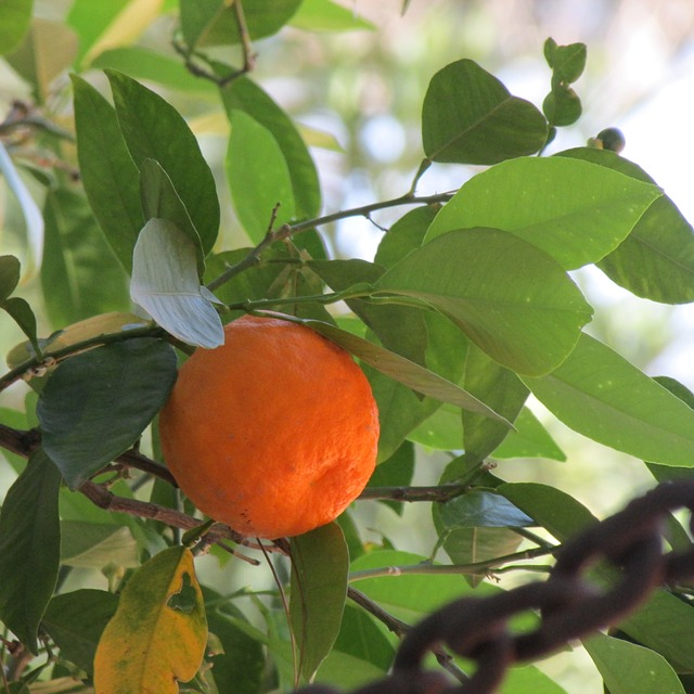 Can you use Orange Bitters for Weight Loss? (Benefits, Dosage)